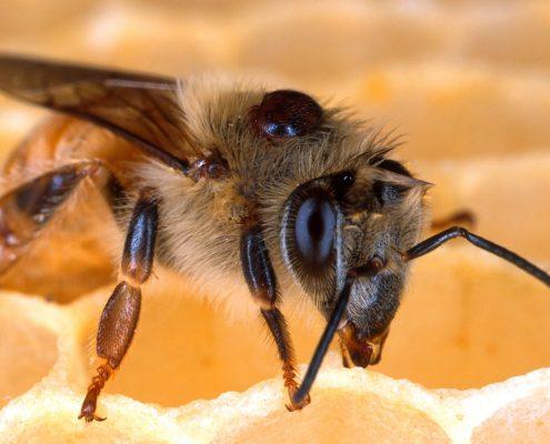bitės įgėlimas