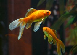 akvariumo žuvytės